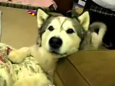 Cachorro imita barulho de carro