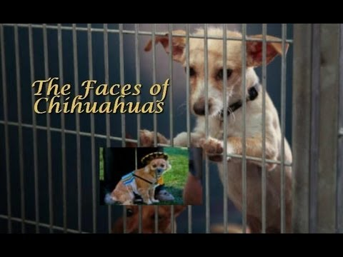The Faces of Chihuahuas-HALO Animal Rescue