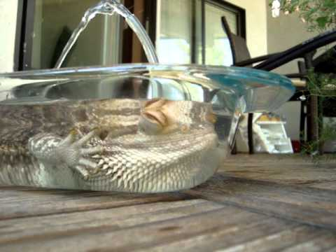 bearded dragon water feature