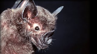 Bats Hunting Their Prey Top Bat BBC