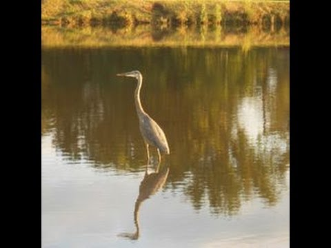 World Wildlife Day, heron footage