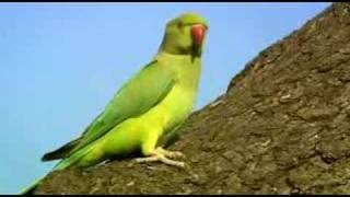 BBC2: The Great British Parakeet Invasion
