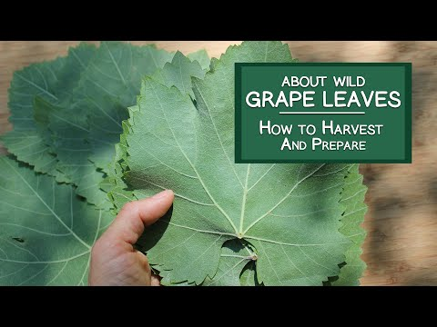 About Wild Grape Leaves and How to Harvest and Prepare Them