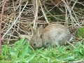 Bright Eyes - Art Garfunkel - Baby Wild Rabbits in Nutfield