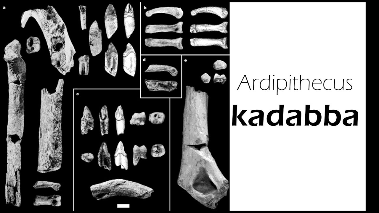 ardipithecus kadabba Ardipithecus ramidus hominid is the best documented before the advent of  australopithecus there are 4 million years the ardipithecus kadabba (56 million .