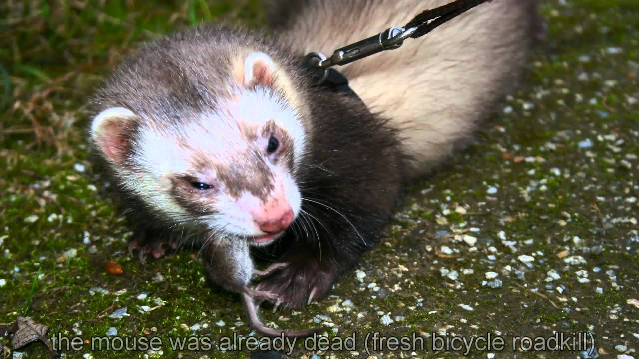ferret eating a real mouse
