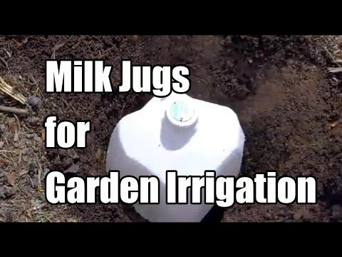 Repurposing Milk Jugs as Olla's - Water Irrigation in the Garden