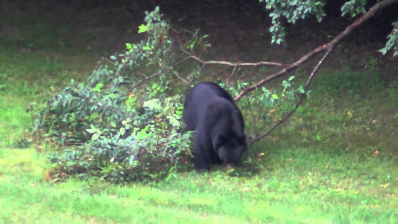 Bears and Bobcats Canton, CT - YouTube