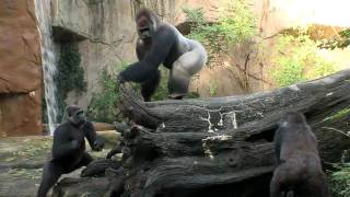 Silverback Gorilla Meets the Girls - Cincinnati Zoo