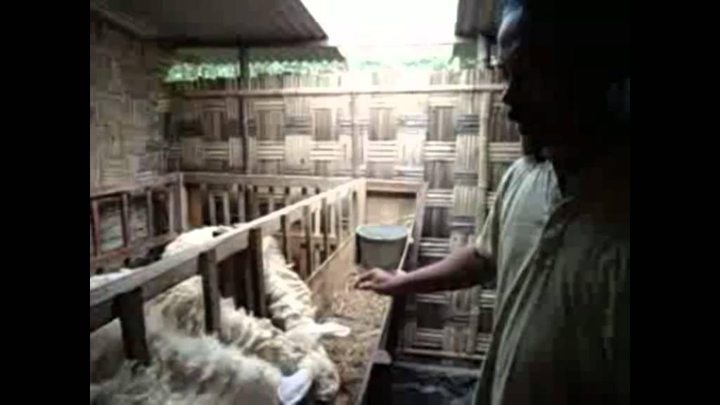Untuk minat beli kambing domba sudah di suntik obat cacing dan vitamin B komplex lengkap dengan pelatihan, kondisi kambing sudah siap utk di gemukan bobot 16 - 20kg harga Rp 850.000,-/ekor siap dikirim ke wilayah jawa Hub.kabul Hp 085233944018