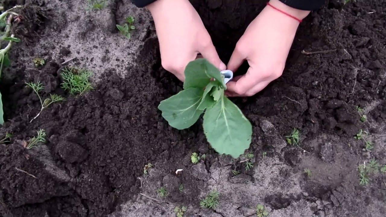 Как правильно сажать капусту в открытый грунт 32