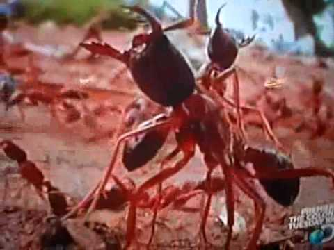 Displaying  18  Gallery Images For Army Ants Eating Cow   Army Ants Eating Cow