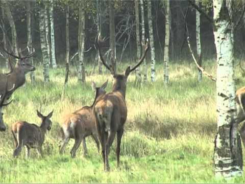 Смотреть видео Вентспилский парк оленей ждет гостей