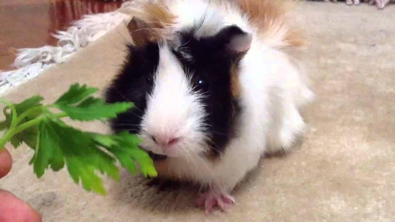 Maydanoz Yiyen Guinea Pig