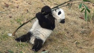 [Baby Panda Wages Losing Battle to Eat Bamboo] Video