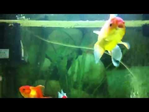 Cá vàng bơi trong chảo rán