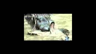 Pelea Mortal COCODRILO V/s PITON