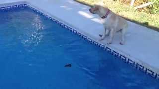 Perro descuidado cae en la piscina