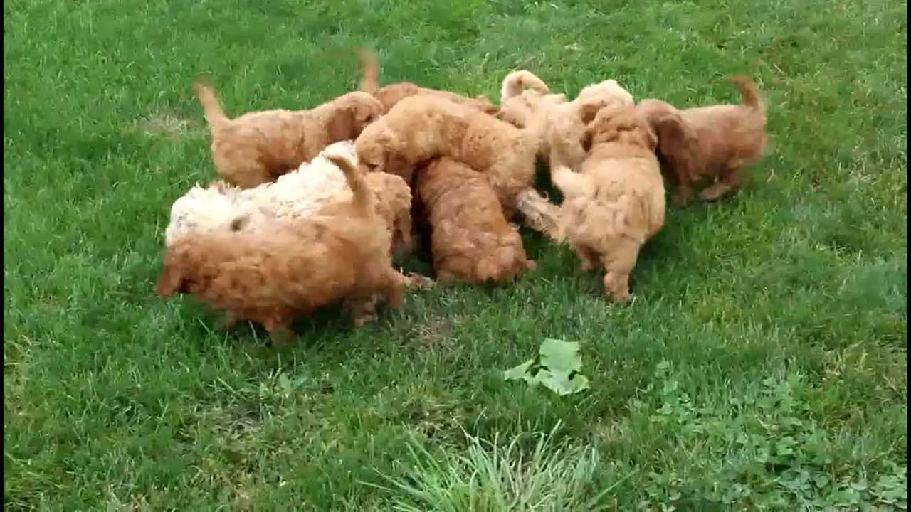 Puppies For Sale In Michigan To Download Goldendoodle Puppies For Sale ...