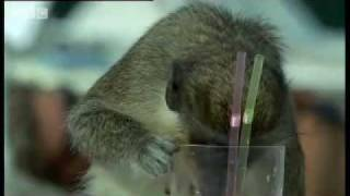 Alcoholic Vervet Monkeys!