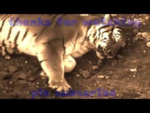 10 trận đại chiến giữa hổ và sư tử