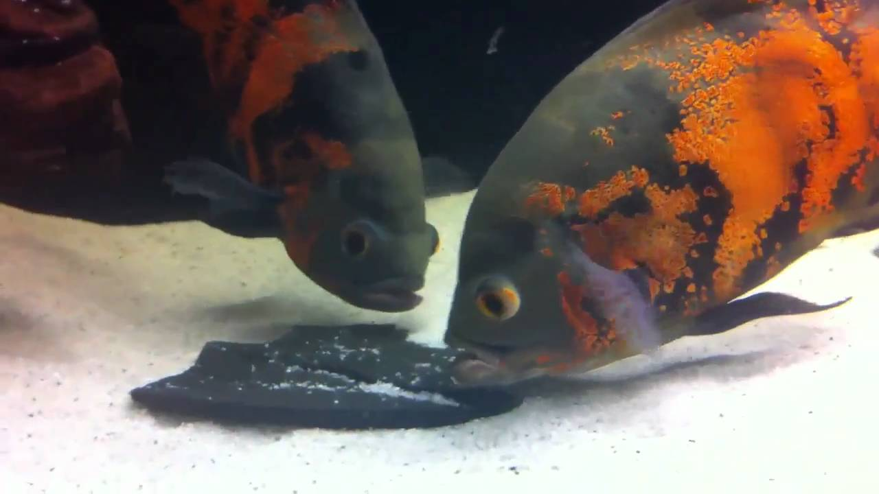 Oscar fish breeding pair youtube for What is an oscar fish