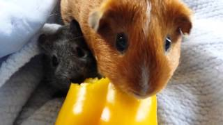 [Guinea pigs having dinner]