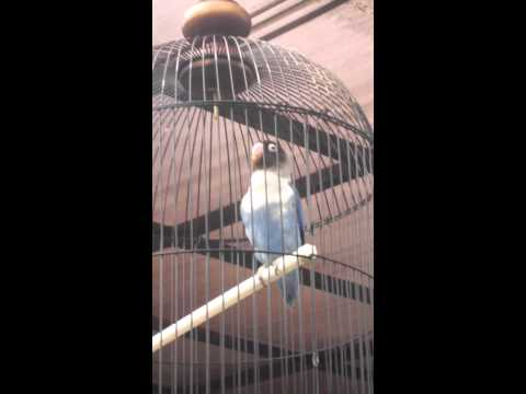 lovebird juara siti jenar durasi 1 menit