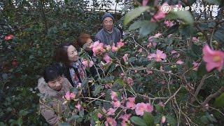 動画:温室内にツバキ70種咲き誇る 秋田市下浜