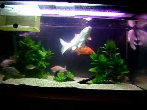 My koi tank youtube for Koi fish tank
