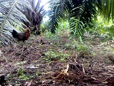 Ayam Hutan Pikat Betina 7