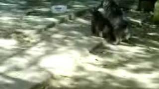Pelea De Perros 2, French Poodle,cachorros Peleando En El