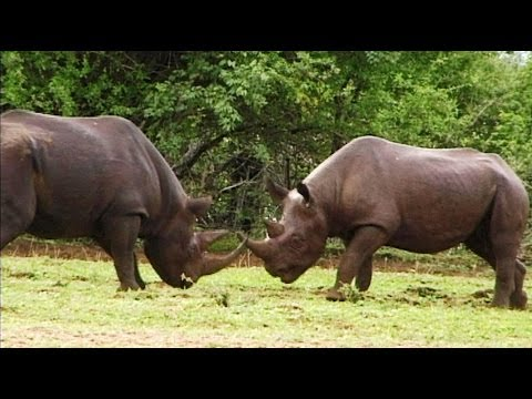 Rare Black Rhino's bloody fight. Best footage EVER recorded in the wild (Unedited).