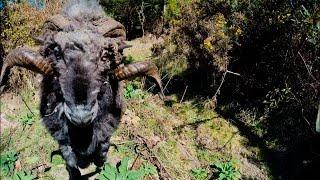 Domba ini geram pada drone yang jatuh