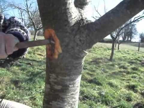 How To Get Rid Of Fruit Tree Canker Youtube