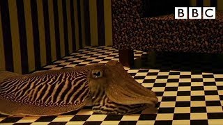 Can Cuttlefish Camouflage in a Living Room?