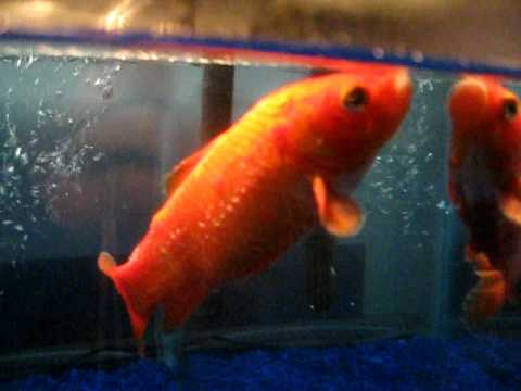 Goldfish with extreme ick youtube for What is ick in fish