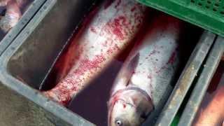 Pește mort, vîndut la colț de stradă