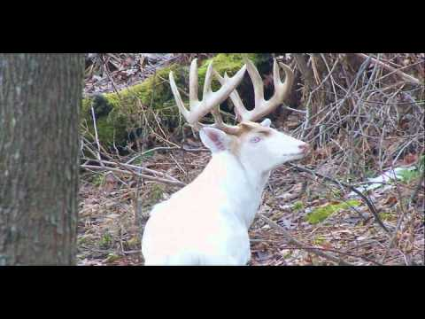 Biggest Albino Deer In The World Hqdefault.jpg