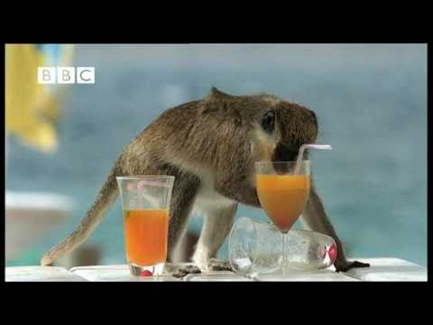 Drunk Monkeys Fail - Weird Nature,