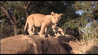 """AFRICAN SAFARI 3D - Extrait """"Bébés lions"""""""