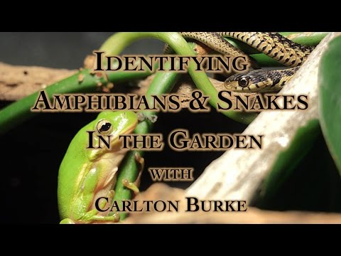 Identifying Amphibians & Snakes In the Garden with Carlton Burke