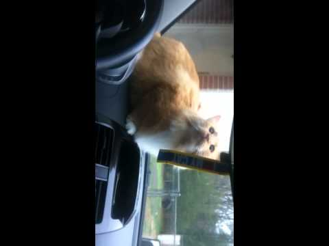 Cats in a car