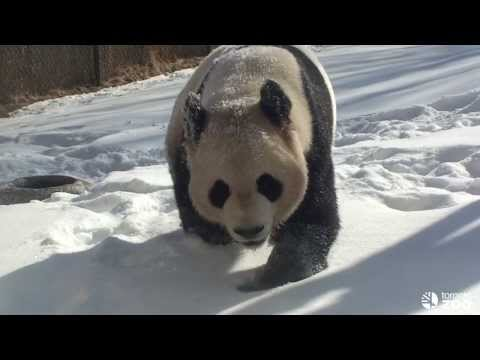 Toronto Zoo Giant Panda Loves The Snow