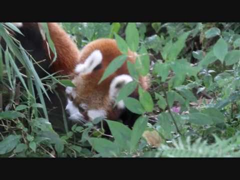 Red Panda - Sikkim's State Animal at Himalayan Zoological Park, Bulbulay, Gangtok, Sikkim, India, I saw these cute Red Pandas at the breeding center in the Himalayan Zoological Park. This park is located at Bulbulay, which is close to Gangtok in Sikkim, I...
