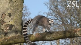 Acrobatic New Lemurs Move in
