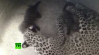 [Two Persian leopard cubs born, first birth in 50 years]