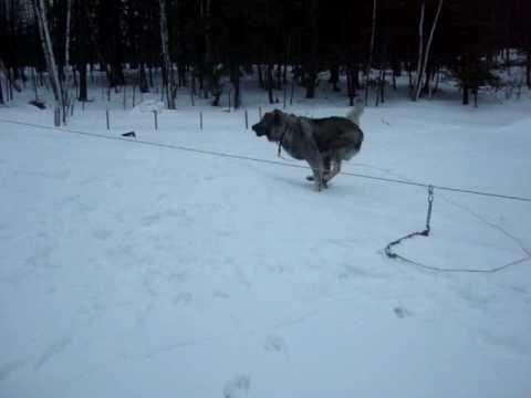 Qeni Sharrit (BUTCH)