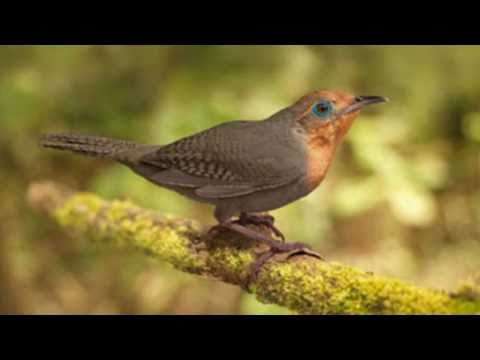 The Sing of Birds -  O Cantar dos Pássaros