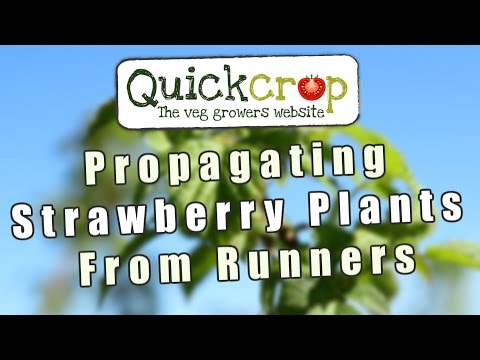Propagating Strawberry Plants From Runners